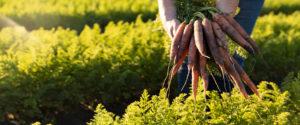 patane carrots